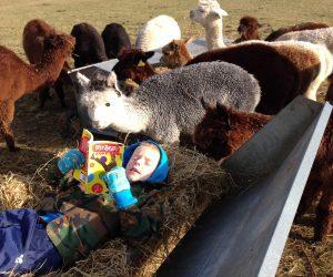 Oli in hay feeder